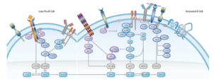 Reagents to study B-cell and T-cell interactions
