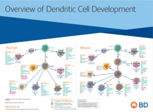 Overview of Dendritic Cell Development