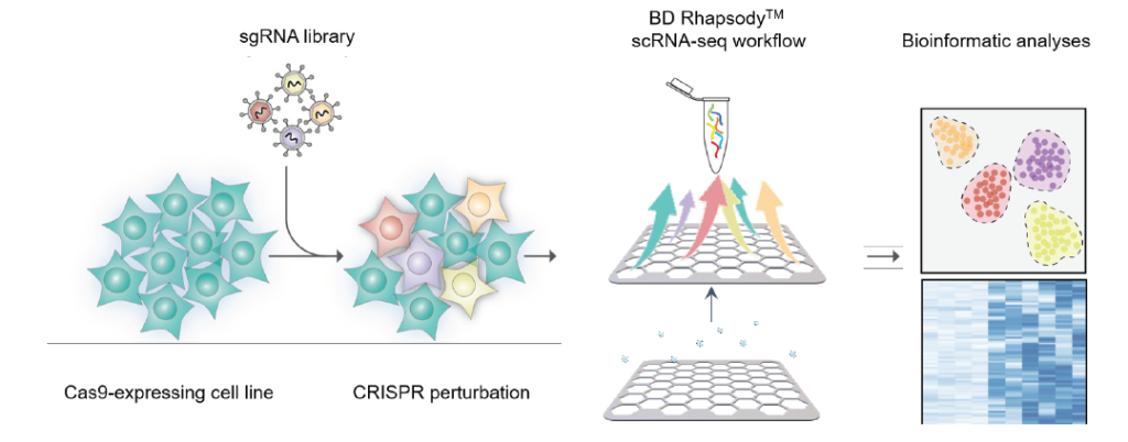 CRISPR screens using targeted single-cell RNA sequencing