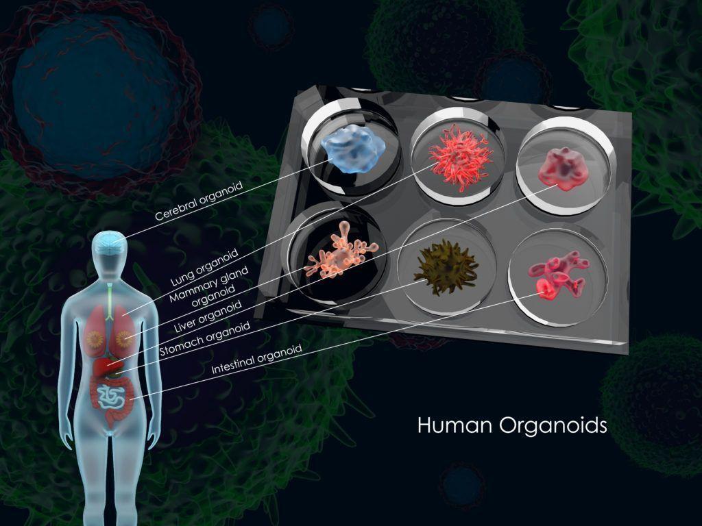 The organoid cell atlas